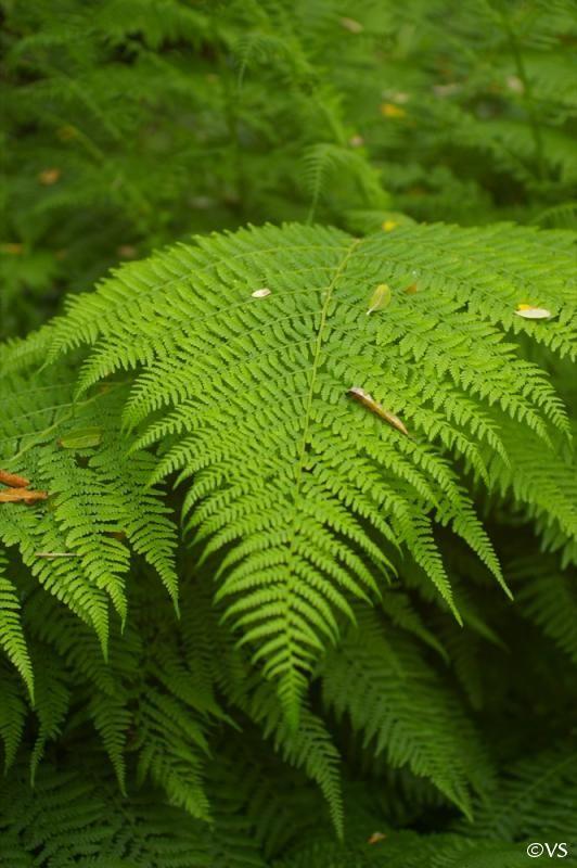 Common Lady-fern (Athyrium filix-femina)                                                                                                                                                                                 More
