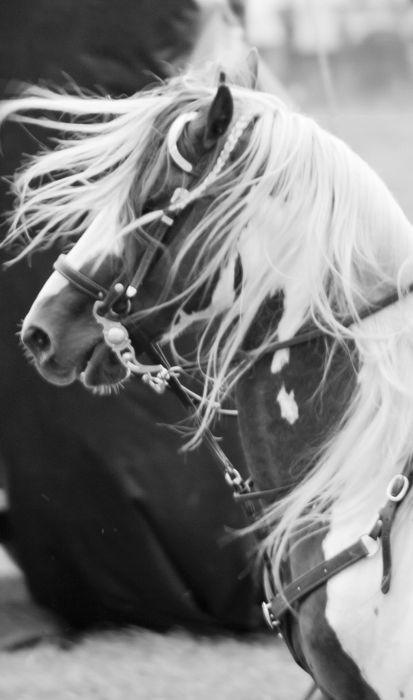 : Favorite Things, Paintings Horses, Black And White, Hors Pictures, Black White, White Horses, Pure Beautiful, Beautiful Horses Photography, Little Cowgirl Hors