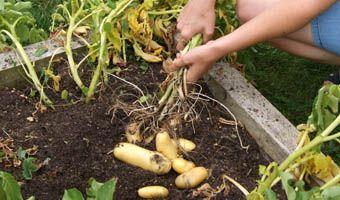 Comment récolter et conserver les pommes de terre