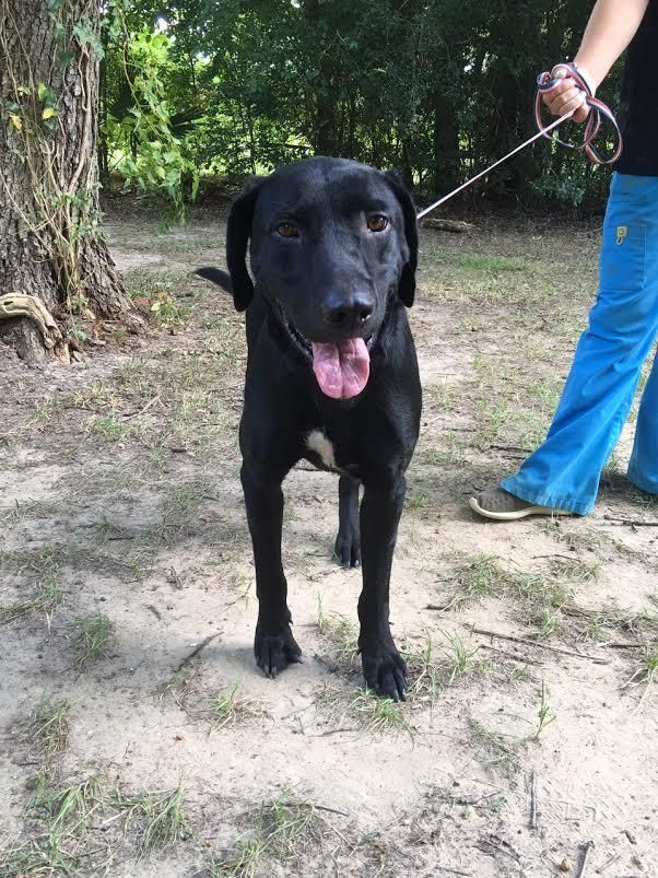 Milo is an adoptable Black Labrador Retriever searching for a forever family near Willington, CT. Use Petfinder to find adoptable pets in your area.