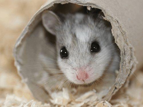 Descubre uno de los roedores más populares, el hámster ruso