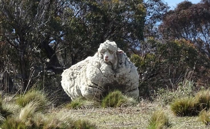 Australie Le mérinos a été vu errant seul mercredi près de Mulligan flats, une zone boisée proche de la capitale, par des randonneurs qui ont alerté les responsables locaux de la RSPCA, l'organisation nationale de protection des animaux.