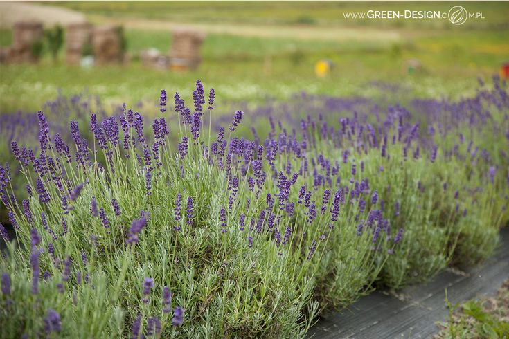 Green Design Landscape Architecture Lavender in Dworzysk