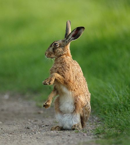 Brown Hare  sitting on track paws up at dusk.  Suffolk. Lepus europaeus. www.mikerae.com