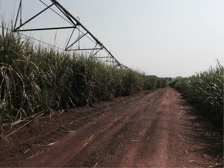 Sugarcane new research to boost profits