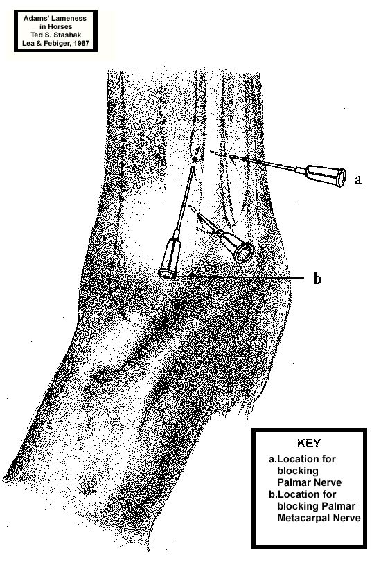 Low 4 Point Nerve Block Equine System Neurological