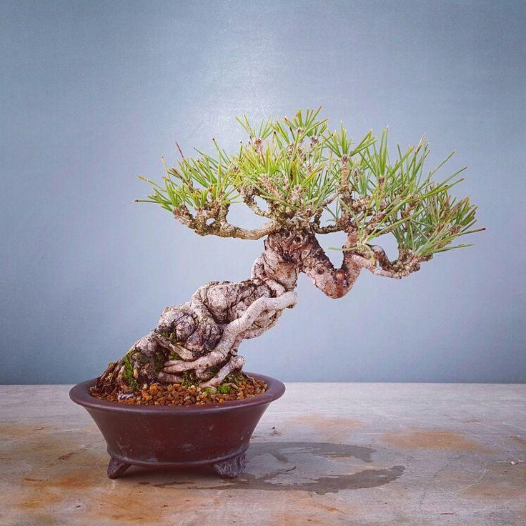 Bonsai, Korean Pine Tree, 곰솔, Feb. 2016