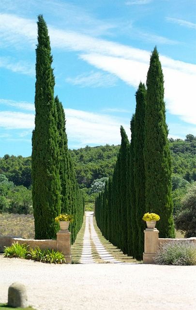 17 Best Ideas About Italian Cypress Trees On Pinterest
