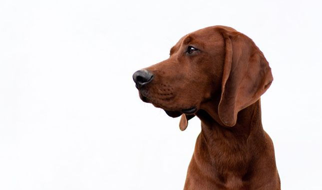 Everything you want to know about Redbone Coonhounds