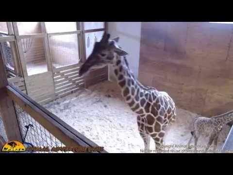 Votes are in! Top 10 names for April's giraffe calf revealed - http://wqad.com/2017/04/26/votes-are-in-top-10-names-for-aprils-giraffe-calf-revealed/