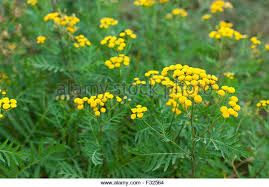 Image result for Tansy plant