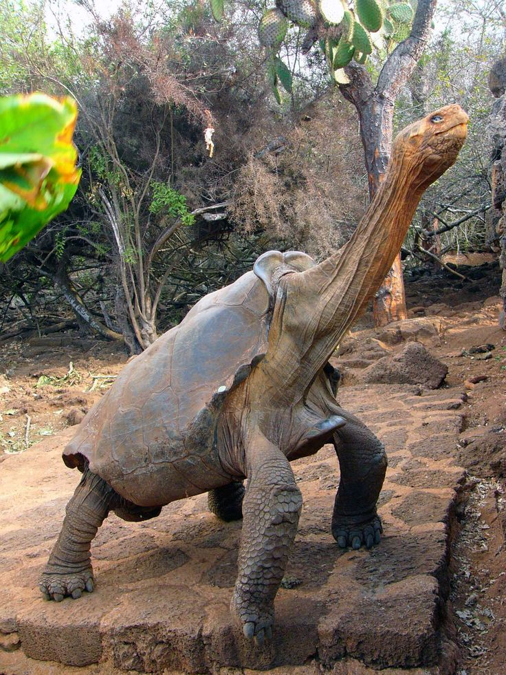 Tortoise Diego Saddleback - Galapagos .. going for that delicious looking salad waaaay up there!