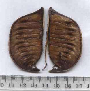 Acacia crassicarpa pod - internal view