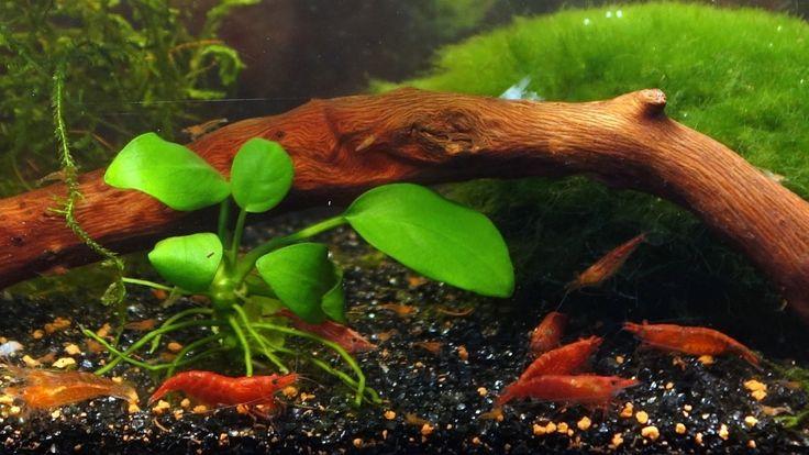 Креветка Вишня (Neocaridina heteropoda)