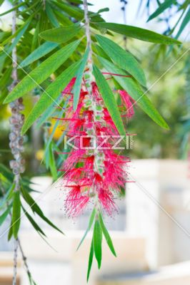 Red String Flower - A stringy red flower hanging from a tree.