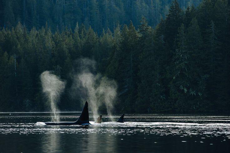 Orcas near Tofino, BC | Jeremy Koreski Photographer