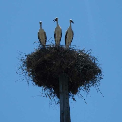 3 storks in a nest near us