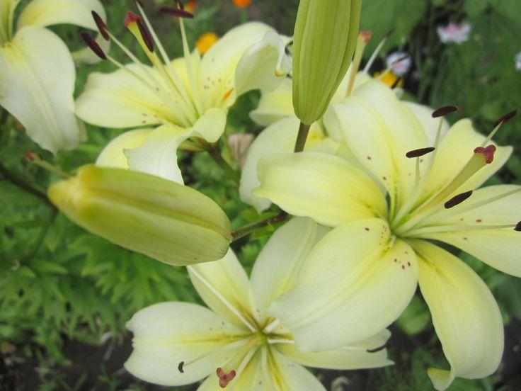 Садовые цветы лилии хороши тем, что они прекрасно себя чувствуют и на открытых солнцу участках, и в тени. Единственное, о чем обязательно нужно позаботиться, - чтобы почва была водопроницаемой, поскольку при чрезмерной влажности грунта эти нежные цветы поражает серая гниль. В естественных условиях дикие лилии растут только на хорошо дренированной почве.
