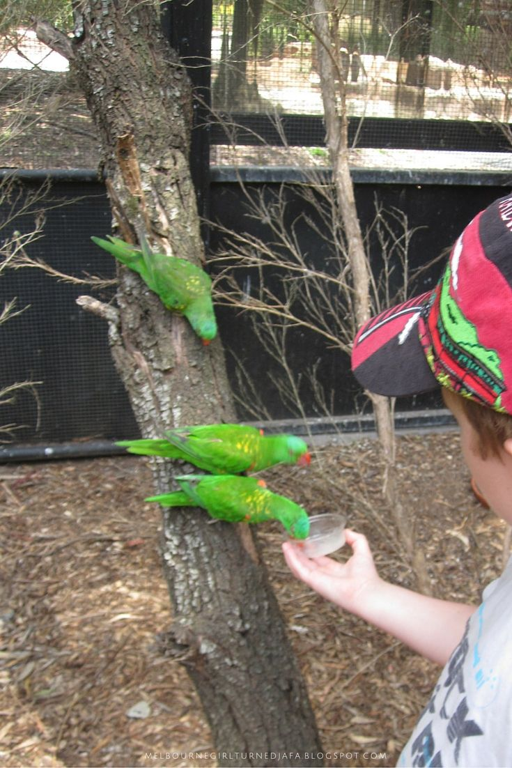 Feeding the birds at Healesville Sanctuary. One of the many great places to take kids in Melbourne.