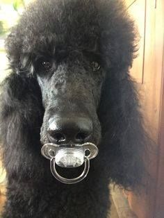 Is your Poodle friend a big baby???