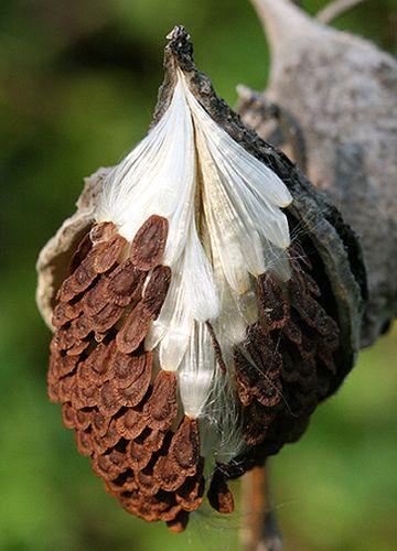 Health Foods Milkweed