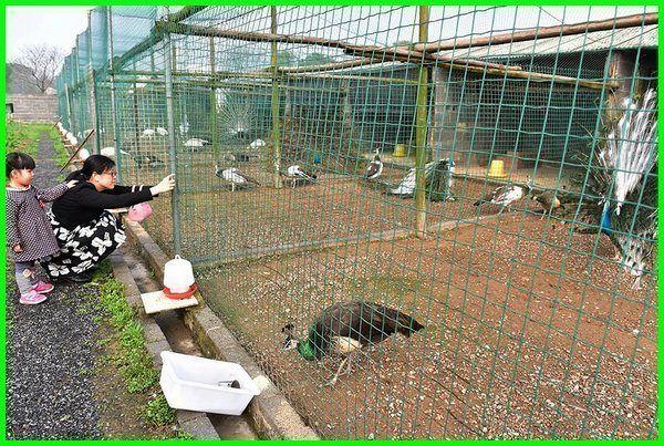 Cara Memelihara Dan Merawat Burung Merak Burung Hewan Kucing
