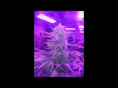 Kushington Farms Grow Journal Huge Blue Lemon Thai Plant with Lush Lighting best grow light