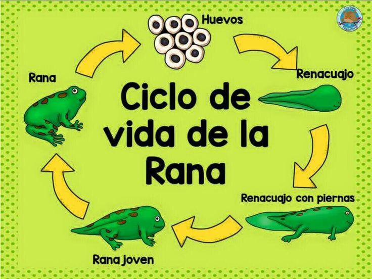17 mejores ideas sobre Ciclos De Vida De Rana en Pinterest ...