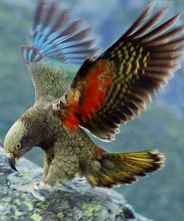 New Zealand kea #NZ_birds