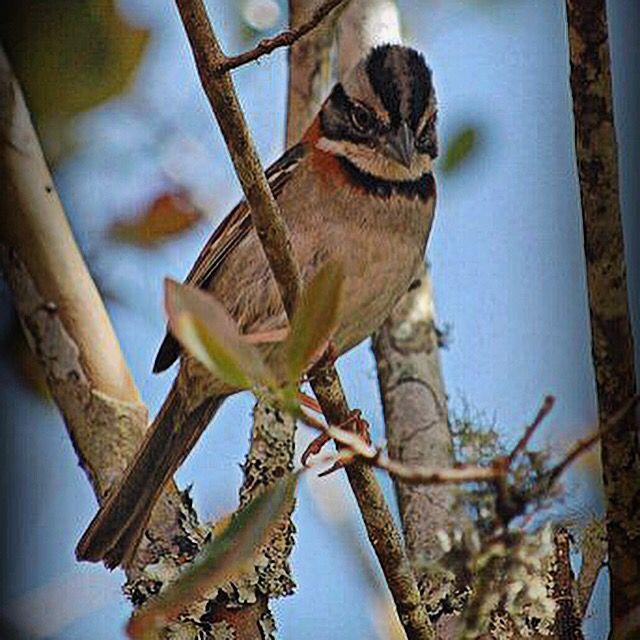 Rufous Collared Sparrow.
