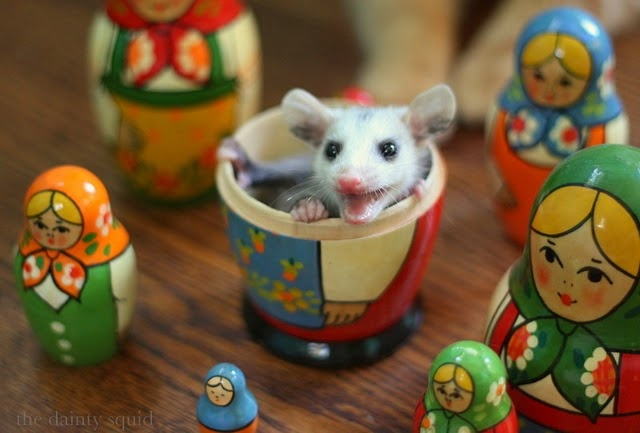 possum.I M Kaylah, Critter, Baby Opossum, December 2010, Animal Fun, Adorable, Baby Possum, Dainty Squid, Beautiful Creatures