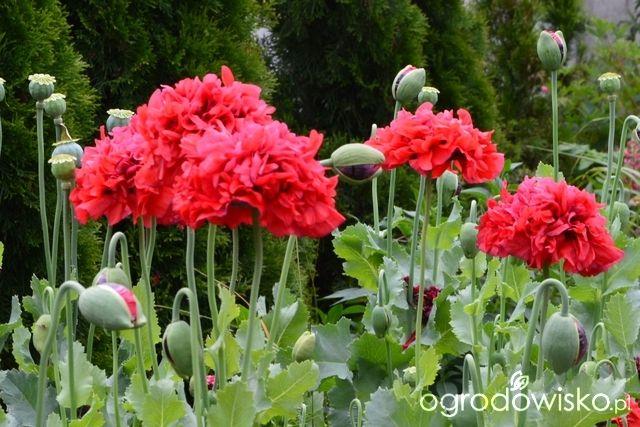 Ogródek Iwony II - strona 246 - Forum ogrodnicze - Ogrodowisko