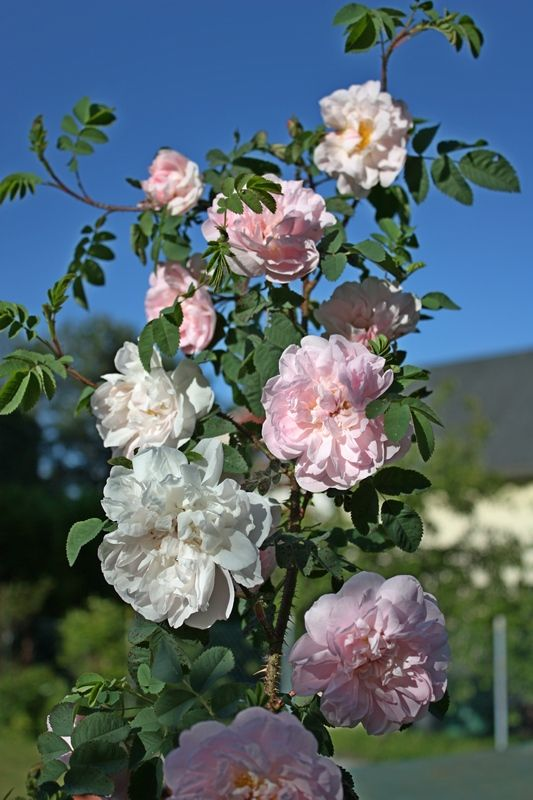 Gertrude Jekyll's favorite, rosa spinosissima: Stanwell Perpetual