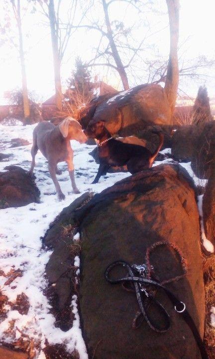 #Love#Výmarský#ohař#pittbull
