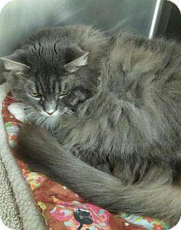Burlington, WA - Domestic Longhair. Meet Little Bit, a cat for adoption. http://www.adoptapet.com/pet/12900843-burlington-washington-cat