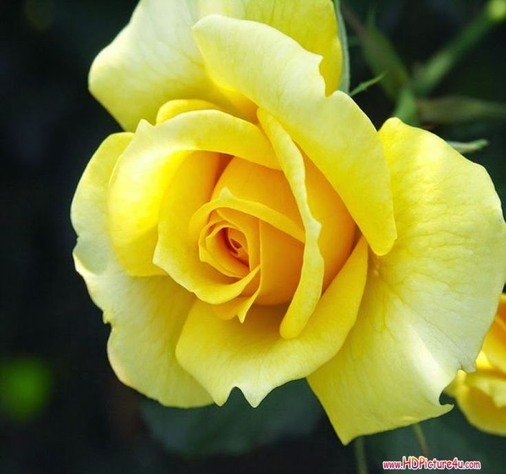 Wallpaper Of Yellow Rose: 14 Best Yellow Rose Pictures Images On Pinterest