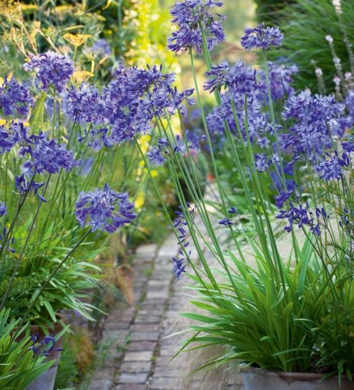 With their strong stems and beautiful large heads, agapanthus make a structural and graceful addition to any border. Agapanthus 'Navy Blue' has the deepest-blue bells on blue-black stems.