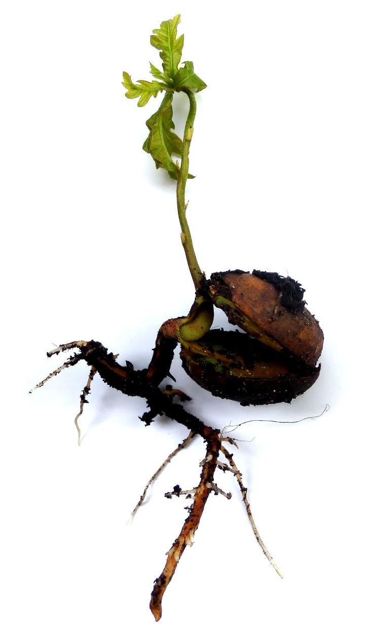 Tree borers amp bark beetles arborx tree health care - 60 Second Science Dormancy And Germination My Chicago Botanic Garden