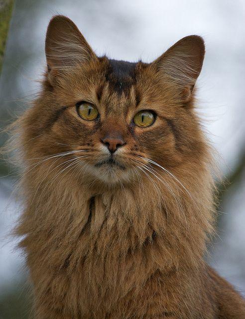 Somali Cat by Solitary Lady, via Flickr