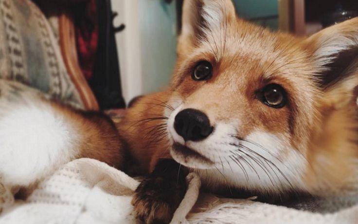 Living the dream: Deze vrouw heeft een vos als huisdier