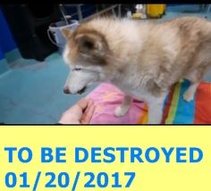 MURDERED 01/20/2017 --- SUPER URGENT Brooklyn Center LOU – A1101597  MALE, RED / WHITE, SIBERIAN HUSKY MIX, 8 yrs STRAY – STRAY WAIT, NO HOLD Reason STRAY Intake condition GERIATRIC Intake Date 01/15/2017  http://nycdogs.urgentpodr.org/lou-a1101597/