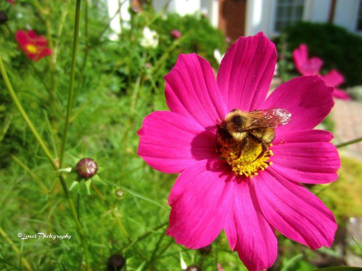 COSMOS FLOWERS & BEE 🌸💖🌸