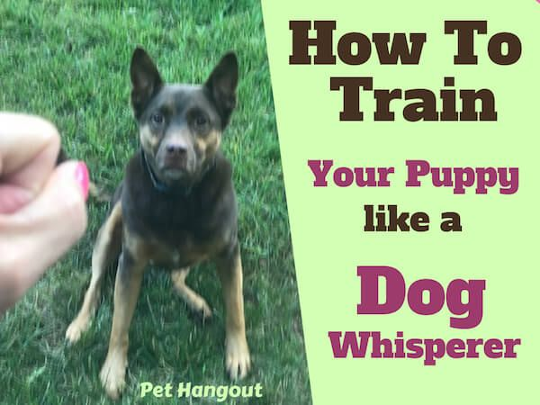 How To Train Your Puppy Like A Dog Whisperer Training Your Puppy