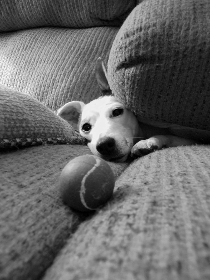 """The Couch Monster"" ---- [*JRT* loves to burrow in the couch along with his ball.]~[Photographer Joann Verderosa - June 14 2012]'h4d'121112"