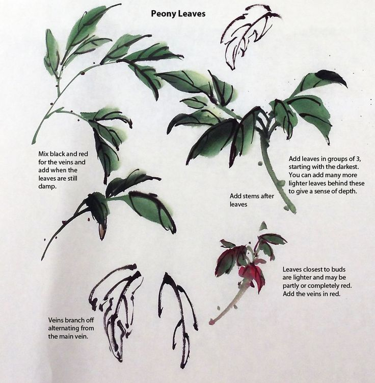 Outline and painted peony leaves with explanations