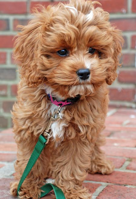 possibly the prettiest lil puppy face, so cute and adorable, gotta luv Cockapoo's :-)