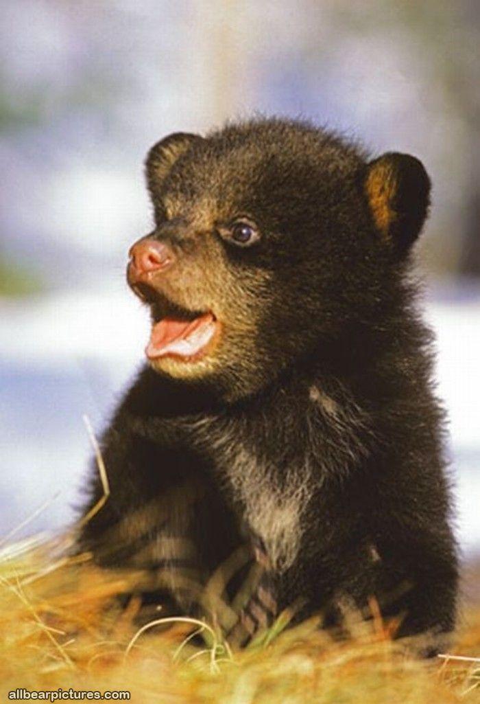 Bears: Cutest Baby, Cute Baby, Animal Baby, Teddy Bears, Black Bears, Bears Cubs, Baby Animal, Baby Bears, Bear Cubs