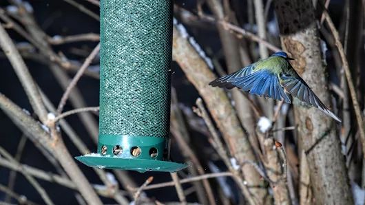 Blue tit spreading it wings.