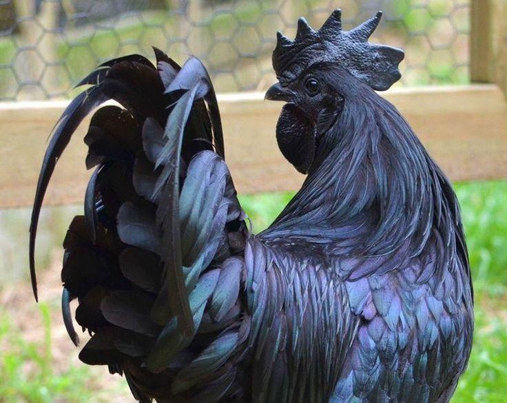 Ayam-Cemani-Chyornyy