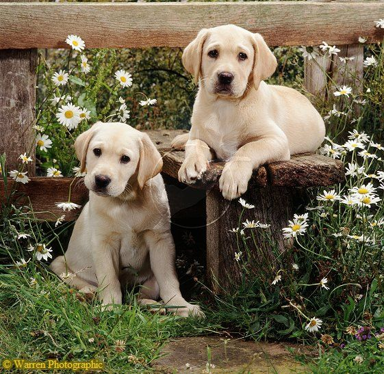 "Labrador pups... Warren Photographic image library ""Our images are available to purchase for commercial use on a rights managed basis. We do not sell images royalty free."""